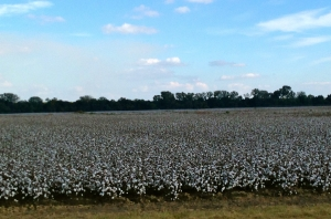 Cotton fields, seen from our car going at 55 MPH.