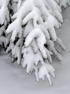 Snow laden pine branch